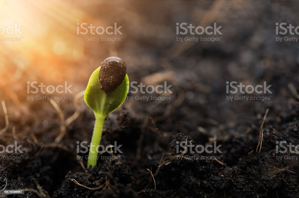 Sprouted water meion growing out of soil,agriculture stock photo