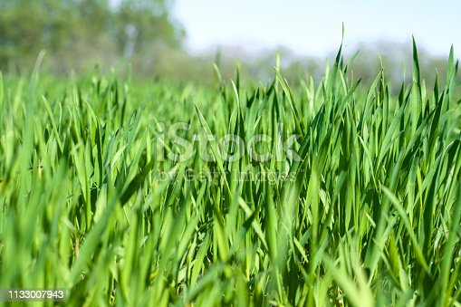 Sprouted wheat or other grains. The future harvest of bread. Grass in the field. Stock background, photo