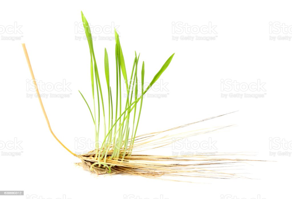 Sprouted wheat out of the heads. stock photo