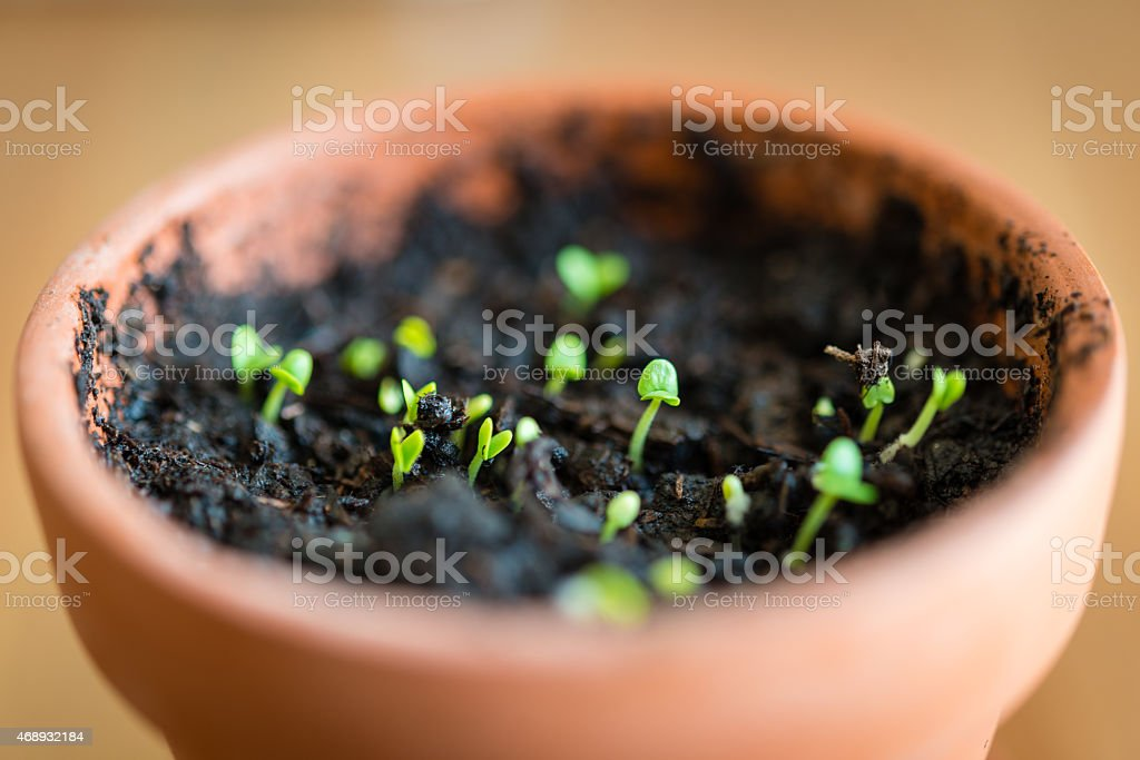Sprouting Basil stock photo