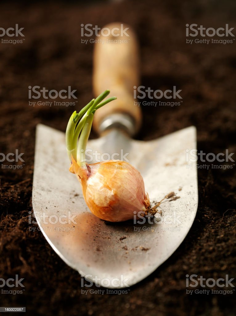 Sprouting Bulb in a Trowel stock photo