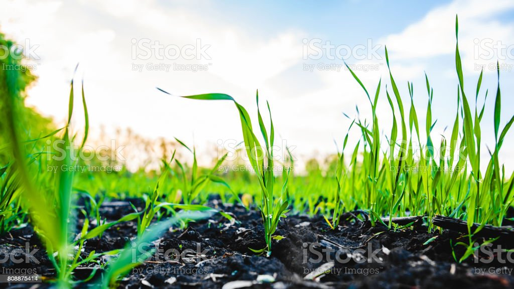 Sprouting field of maize, corn stock photo
