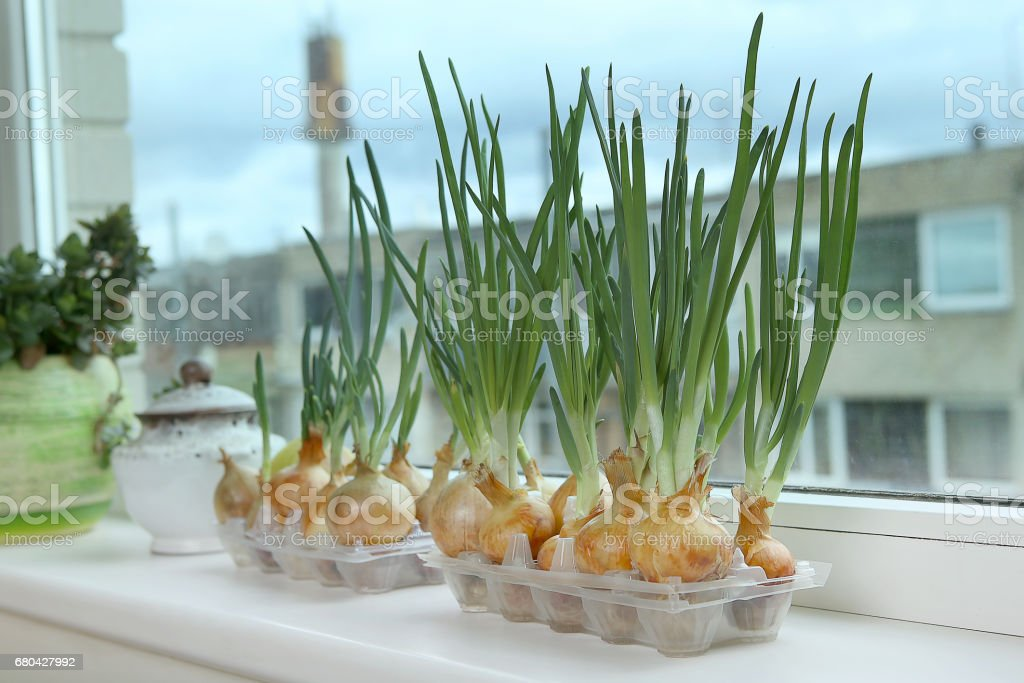 Sprouting green onions in eggs plastic package. Recycling idea. stock photo