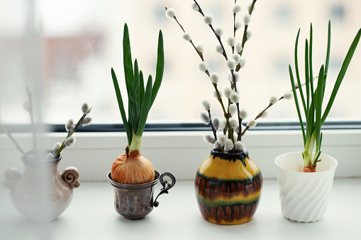 Sprouting onion, pussy willow in vase on window sill, gardening