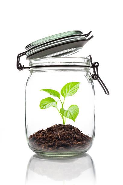 sprouting pflanze in einem offenen einmachglas - terrarienpflanzen stock-fotos und bilder