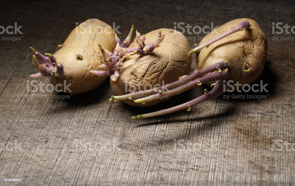 Sprouting potatoes, Solanum tuberosum, on wooden background stock photo