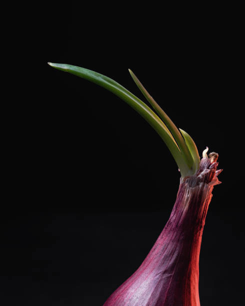 Sprouting Red Onion on Black Background stock photo