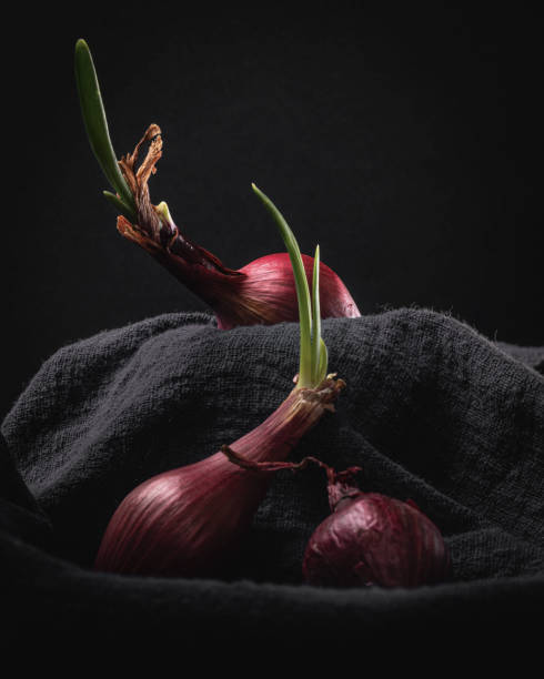 Sprouting Red Onions on Dark Background Still Life stock photo