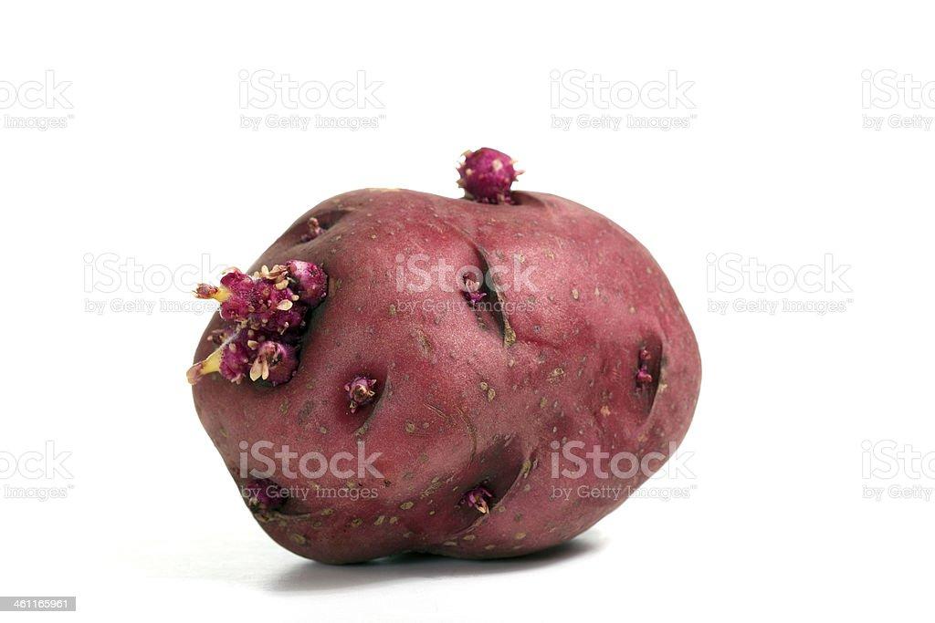 Sprouting red potato royalty-free stock photo