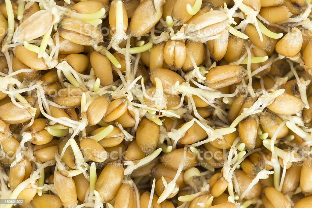 Sprouting Seeds stock photo