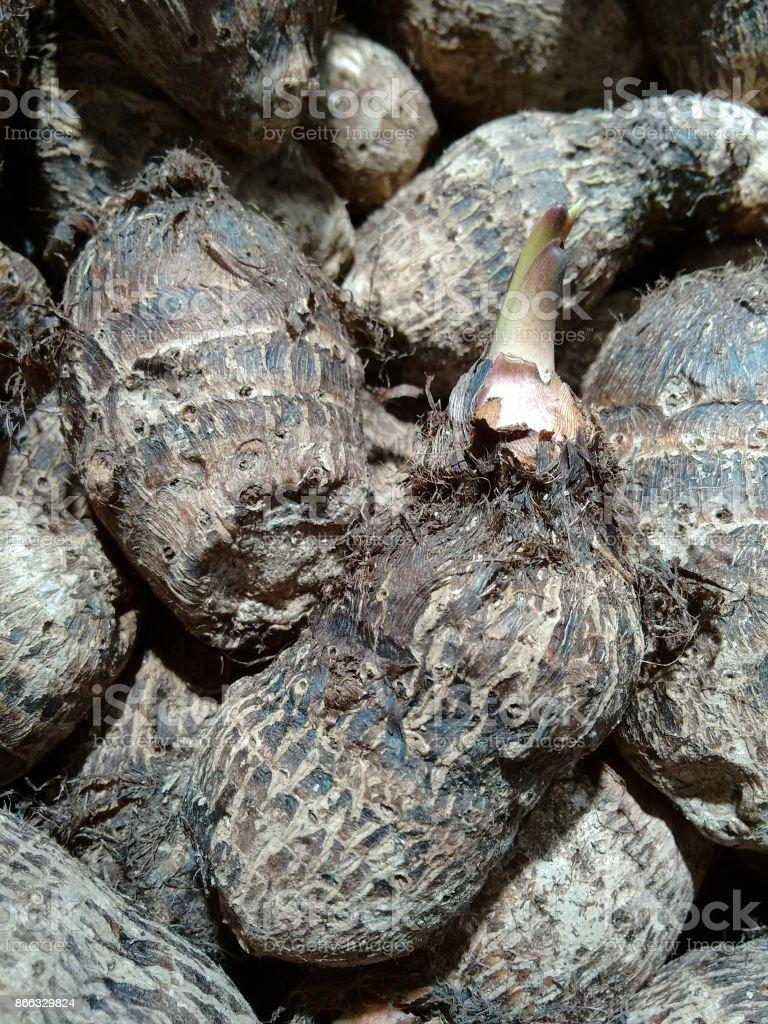 Sprouting taro stock photo