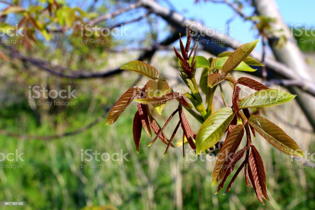 sprouting walnut leaves in the spring - Foto stock royalty-free di Albero
