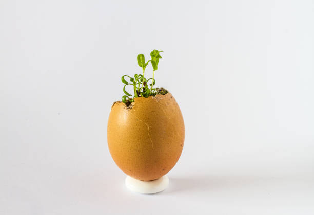 Sprouts in Egg Shell stock photo