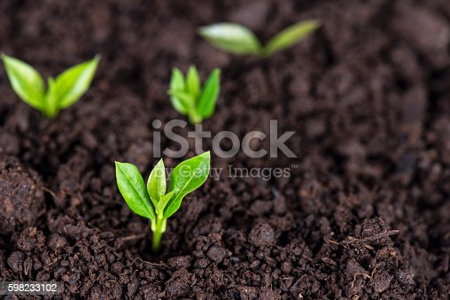 Small sprouts in soil.