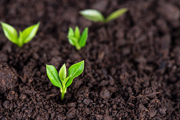 sprouts in soil - seed stock photos and pictures