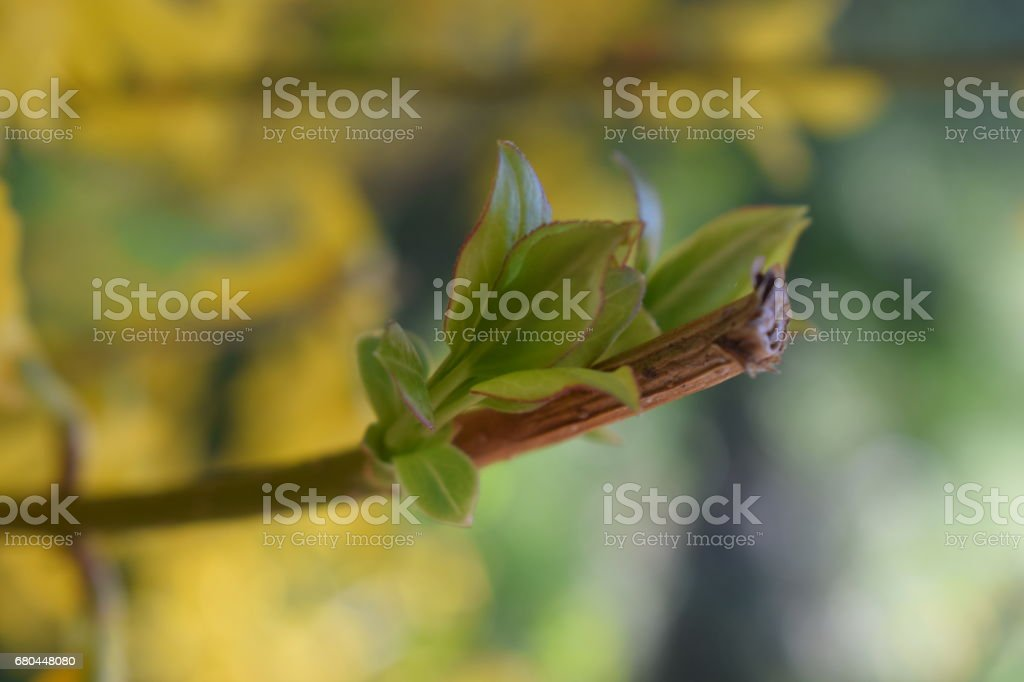 Sprouts of a shrub in spring. stock photo