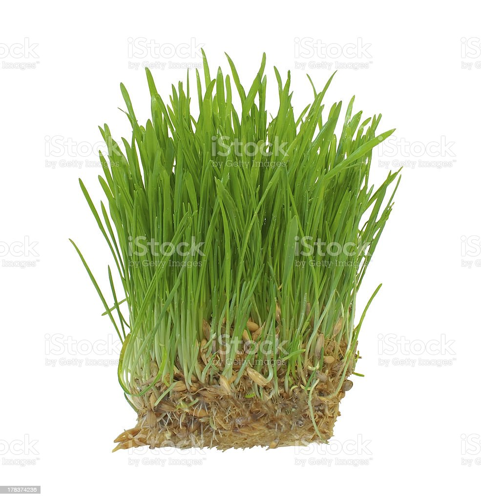 Sprouts of a young green grass. Isolated on white background stock photo