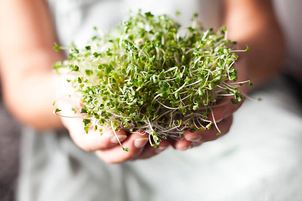 sprouts de brécol en manos - cruciferae fotografías e imágenes de stock