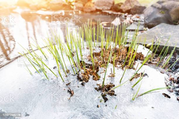 Photo of Sprouts of fresh new first green cane reed growing breakthrough frozen water ice crust on pond or river against shining sun at warm spring day. Nature awakening scene concept. Thaw melt snow weather