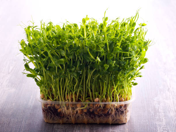 Sprouts of peas vegetable, microgreen Sprouts of peas vegetable, microgreen, selective focus microgreen stock pictures, royalty-free photos & images