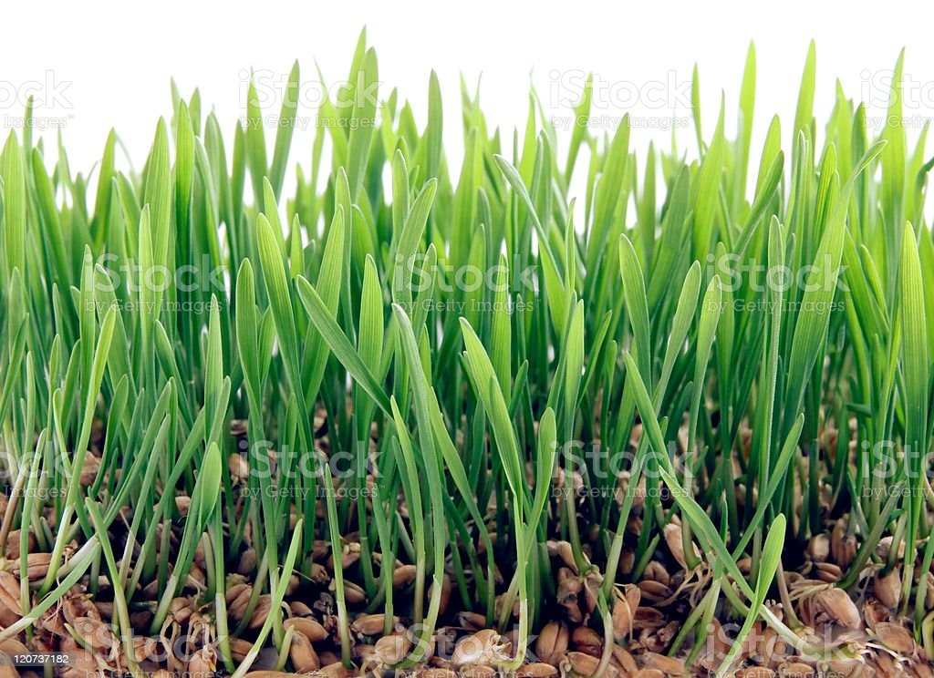 sprouts of wheat seeds stock photo