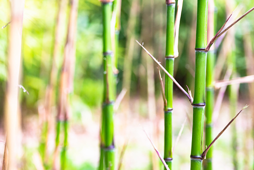 Sprouts of young bamboo