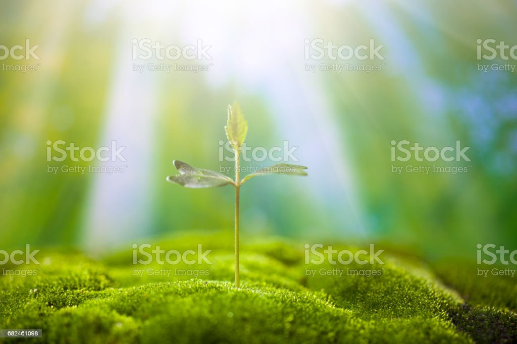 Sprouts on green moss royalty-free stock photo