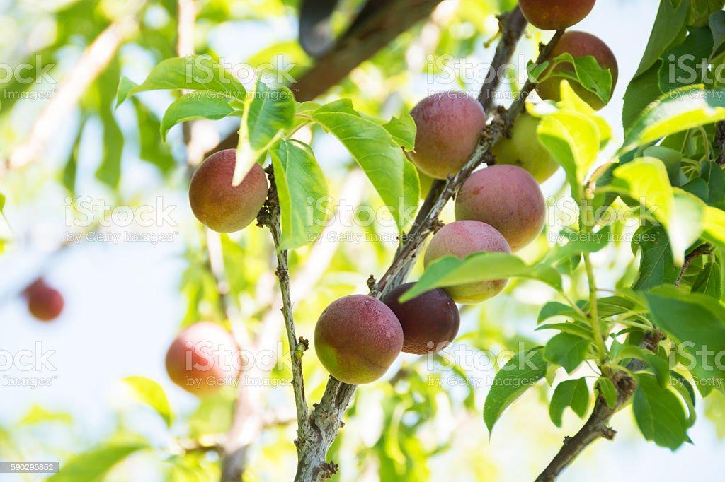 Sprouts Sunshine red gold plums on branchs against sky. royaltyfri bildbanksbilder