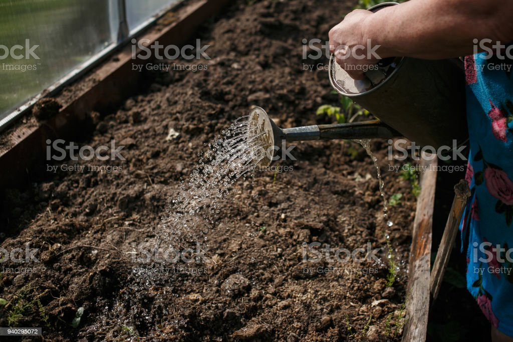 Sprouts watered from a watering can stock photo