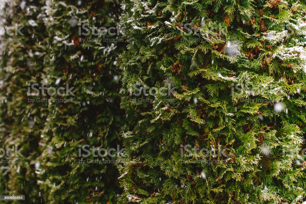 Spruce, arborvitae covered with snow, close focus stock photo