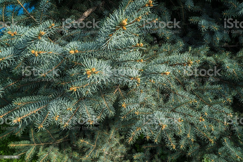 Spruce background stock photo