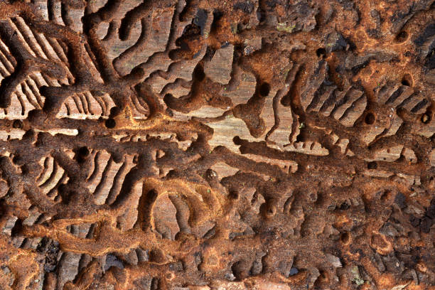 Spruce bark with pattern from bark beetles. stock photo