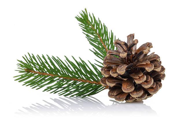 Spruce Bough y cono - foto de stock