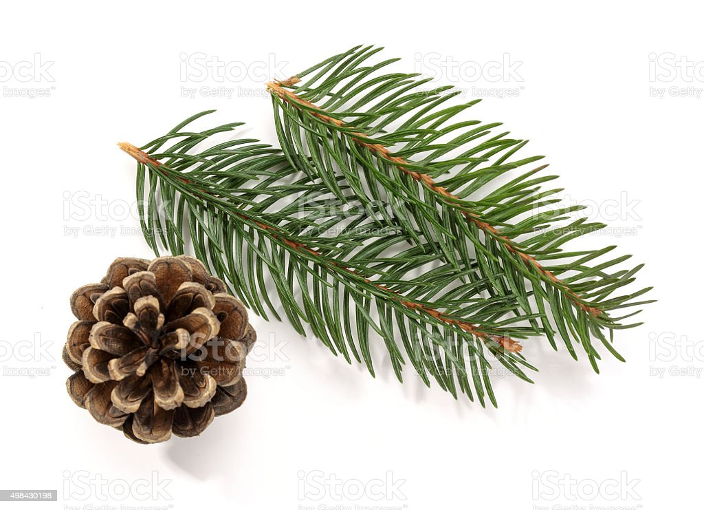 Spruce Branch and Pine Cone stock photo