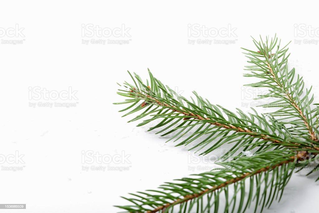 spruce branch royalty-free stock photo