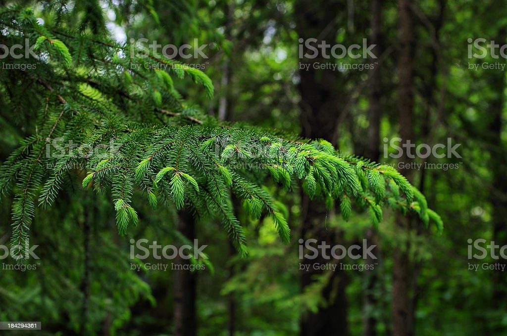 Spruce Branch stock photo