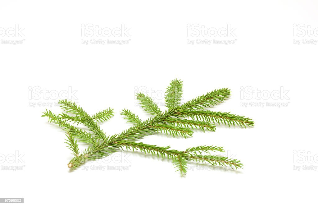 Spruce branch royalty-free stock photo