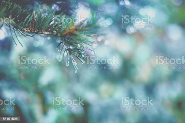 Photo of Spruce branch with drops of dew, close up