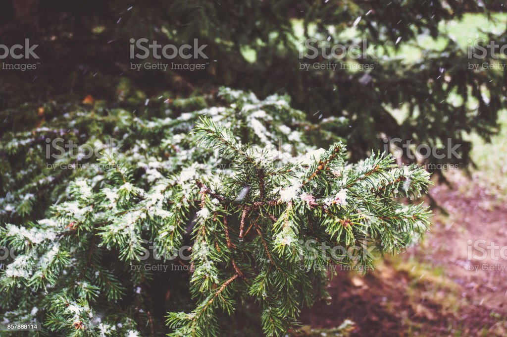 Spruce branches in the snow. stock photo