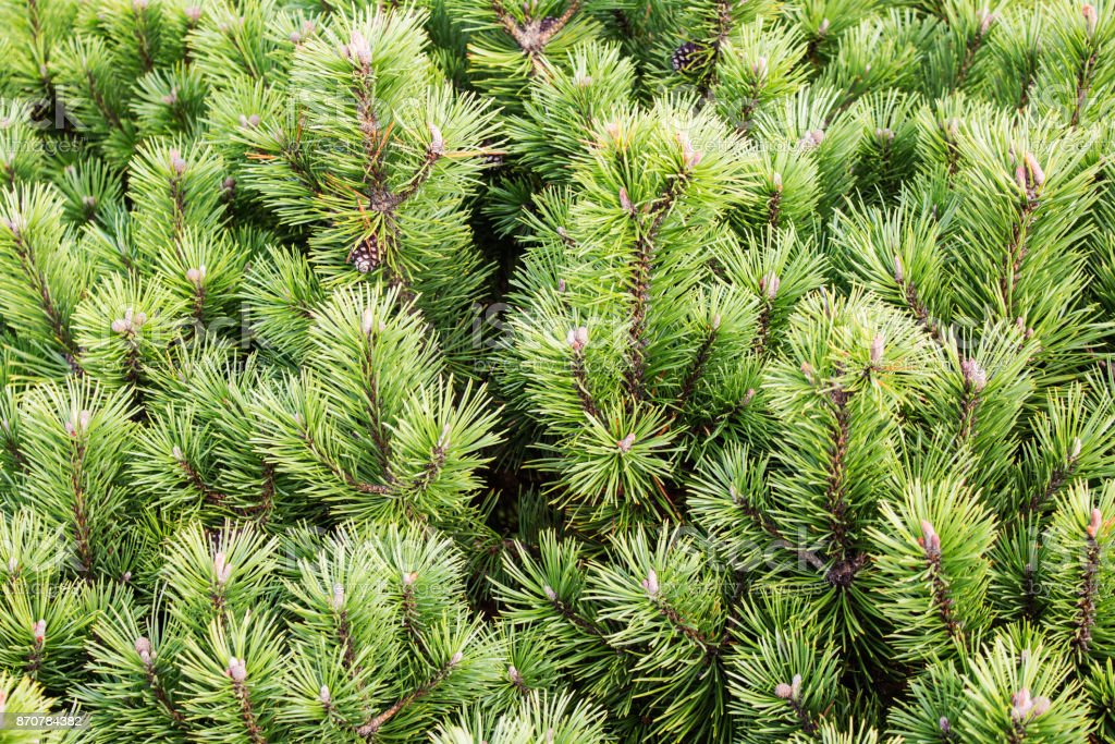 Spruce branches on a green background.The blue spruce, green spruce, white spruce.