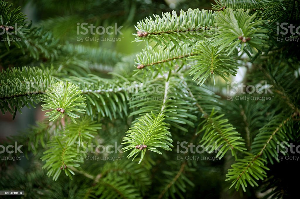 Spruce branches royalty-free stock photo
