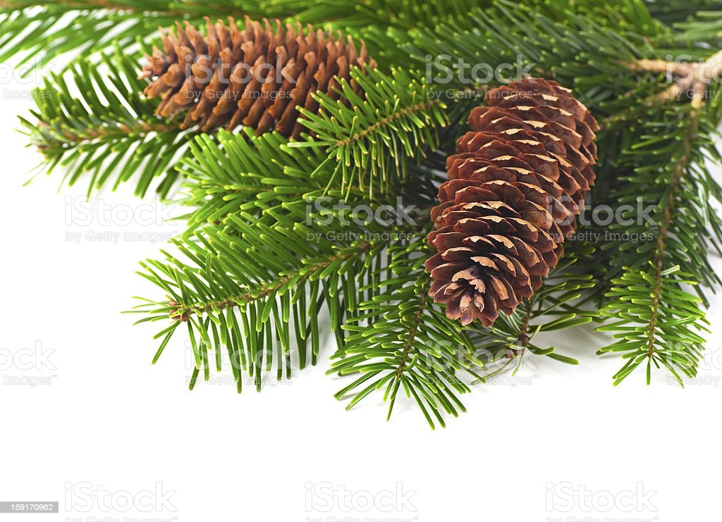 Spruce branches with cones royalty-free stock photo