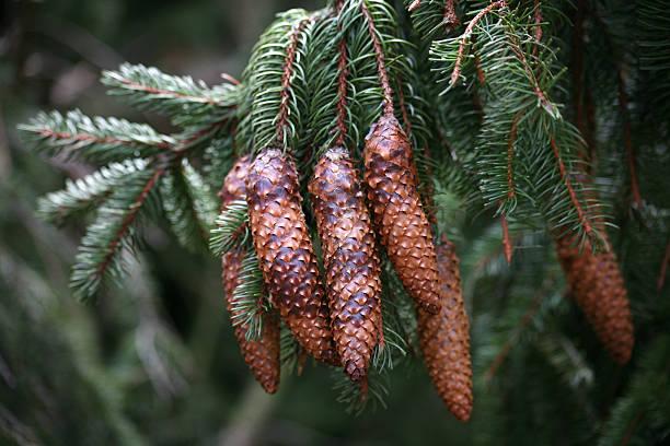 Spruce Hütchen – Foto