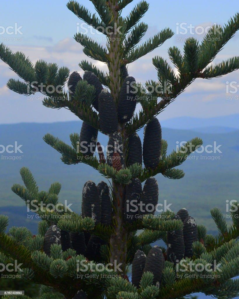 Spruce Cones stock photo
