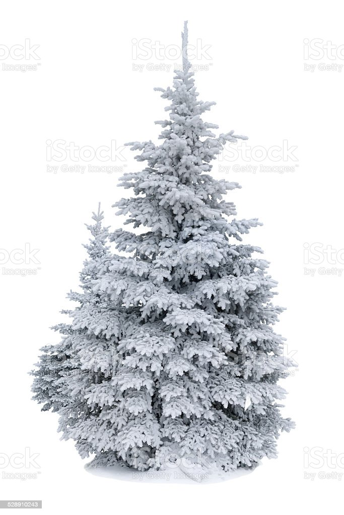 Spruce covered with snow isolated on white stock photo