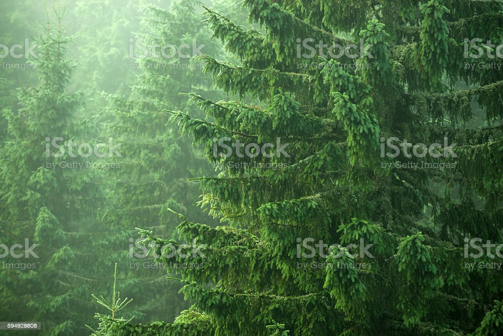 spruce, fir, trees stock photo