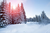 Spruce forest in winter. Winter landscape