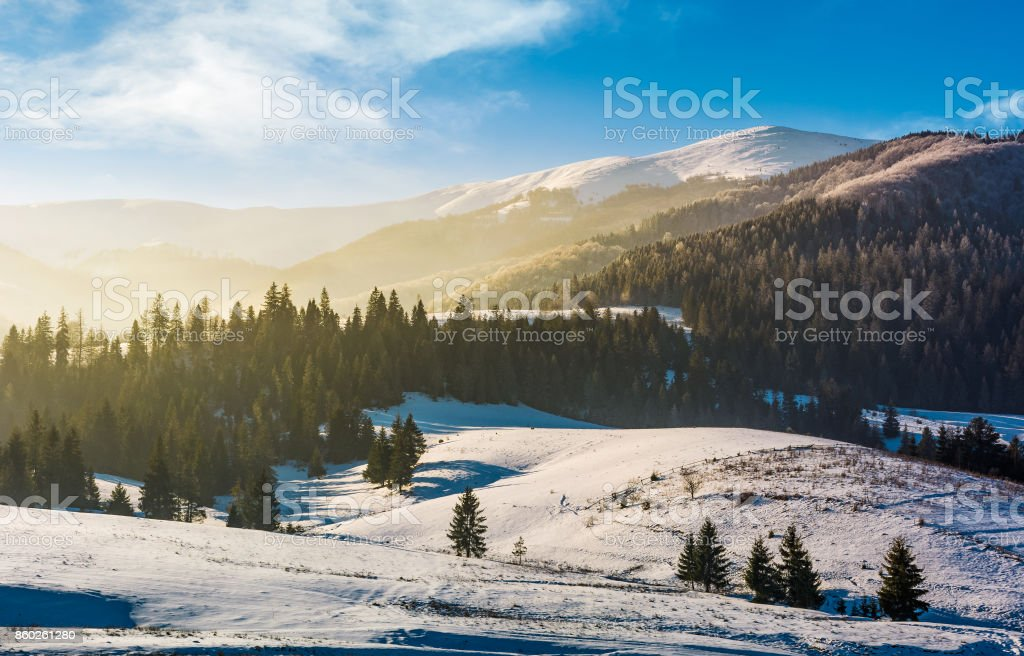spruce forest on snowy hills stock photo