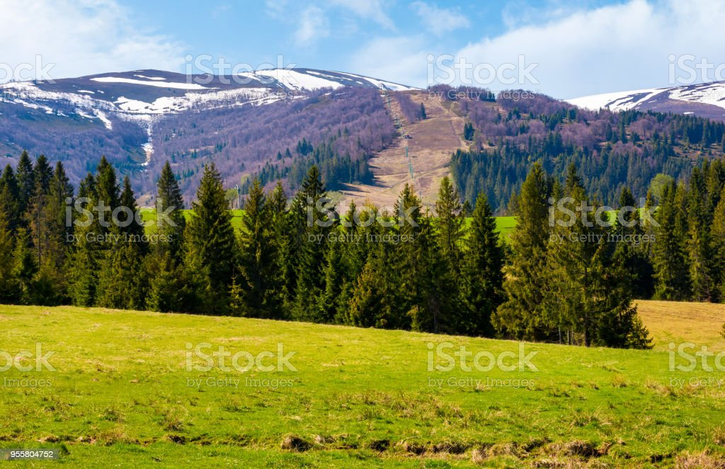 Spruce forest on  the grassy hills stock photo