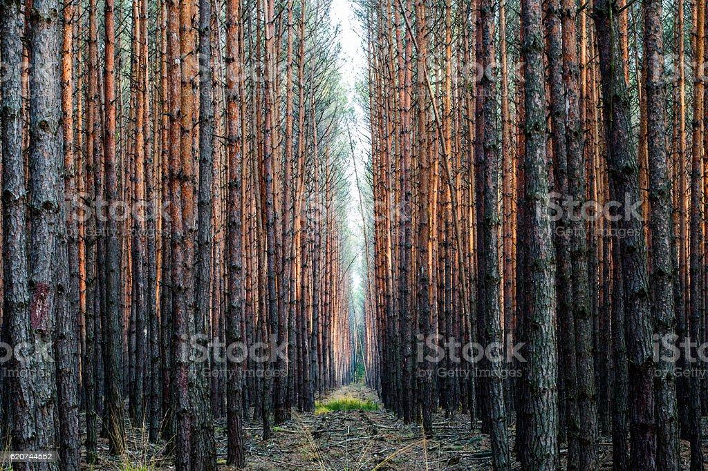 Bosque de abeto  - foto de stock